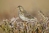 Meadow pipit, Anthus pratensis — Stock Photo