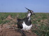 Vanneau huppé, vanellus vanellus — Photo