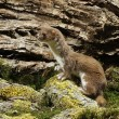 Stock Photo: Weasel, Mustelnivalis