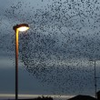 Starling, Sturnus vulgaris — Stock Photo #31336565