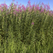 Rosebay willowherb, Epilobium angustifolium — Stock Photo