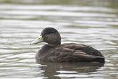 American black duck, Anas rubripes — Stock Photo