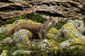 Weasel, Mustela nivalis — Stock Photo