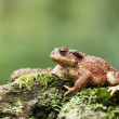 Common toad, Bufo bufo — Stock Photo