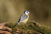 Blue tit, Parus caeruleus — Stock Photo