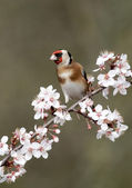 Goldfinch, Carduelis carduelis — Stock Photo
