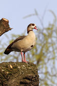 Egyptian goose, Alopochen aegyptiacus — Stock Photo