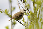 Garden warbler, Sylvia borin — Stock Photo