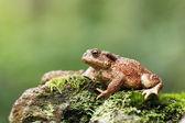 Common toad, Bufo bufo — Stock Photo
