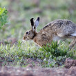 Brown hare, Lepus europaeus — Stockfoto