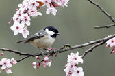 Coal tit, Parus ate — Stock Photo