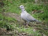 Collared dove, Streptopelia decaocto — Zdjęcie stockowe