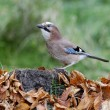 Jay, Garrulus glandarius — Stock Photo #31401921