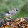 Jay, Garrulus glandarius — Stock Photo #31401933