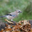 Jay, Garrulus glandarius — Stock Photo
