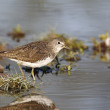Stock Photo: Green sandpiper, Tringochropus