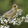 Greenfinch, Carduelis chloris — Stock Photo