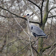 Grey heron, Ardea cinerea — Stock Photo