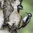 Great-spotted woodpecker, Dendrocopos major — Stock Photo #31402613