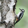 Great-spotted woodpecker, Dendrocopos major — Stock Photo #31402625