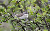Lesser whitethroat, Sylvia curruca — Stock Photo
