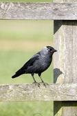 Taccola, corvus monedula — Foto Stock