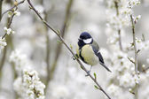 Great tit, Parus major — Stockfoto