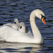 Mute swan, Cygnus olor — Stock Photo