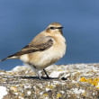 Northern wheatear, Oenanthe oenanthe — Stock Photo