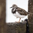 Turnstone, Arenaria interpres — Stock Photo