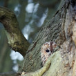 Stock Photo: Tawny owl, Strix aluco