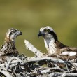 Osprey, Pandion haliaetus, — Stock Photo