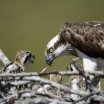 Osprey, Pandion haliaetus, — Stock Photo #31490389