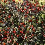 Black Chiltepin, Capsicum annuum, Arizona, USA — Stock Photo #31493077