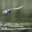 Whiskered tern, Chlidonias hybridus — Stock Photo