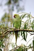 Ring-necked parakeet, Psittacula krameri — Stock Photo