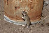 Brown rat, Rattus norvegicus — Stockfoto
