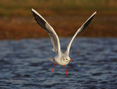 Black-headed gull, Larus ridibundus — Stock Photo