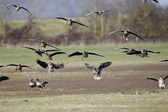 White-fronted goose, Anser albifrons, — Stock Photo