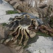Stock Photo: Chinese mitten crab, Eriocheir sinensis