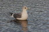 Common gull, Larus canus — Stock Photo