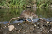 Brown rat, Rattus norvegicus — Stock Photo