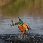 Kingfisher, Alcedo atthis — Stock Photo