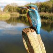 Kingfisher, Alcedo atthis — Stock Photo