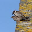 Stock Photo: House sparrow, Passer domesticus