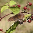 Stock Photo: Harvest mouse, Micromys minutus