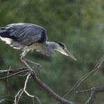 Grey heron, Ardea cinerea, — Stock Photo