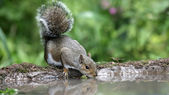 Grey squirrel, Sciurus carolinensis — Stock Photo