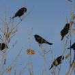 Stock Photo: Red-winged blackbird, Agelaius phoeniceus
