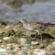 Pectoral sandpiper, Calidris melanotos — Stock Photo